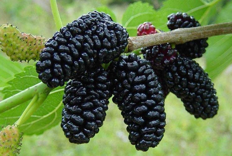 I frutti del gelso nero