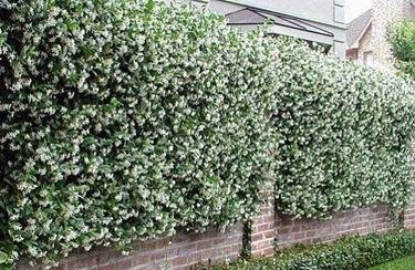 muro gelsomini