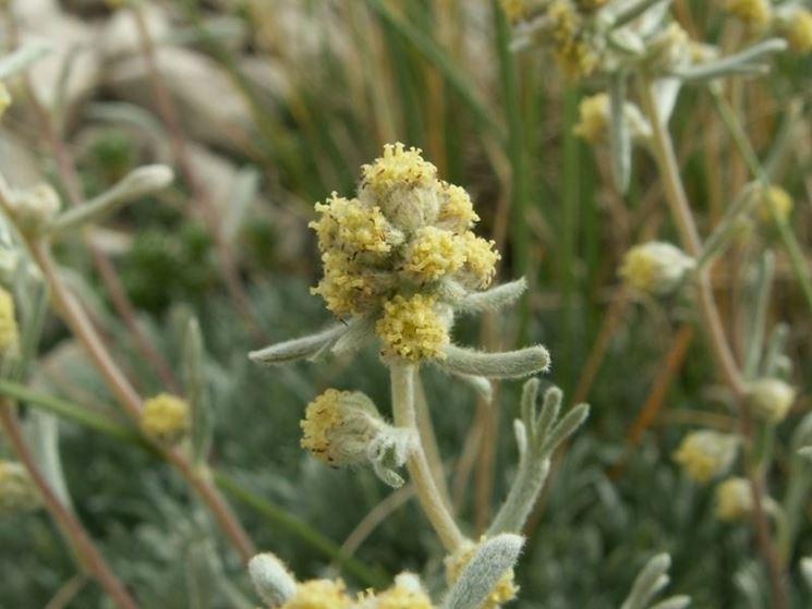 genepi particolare fiore