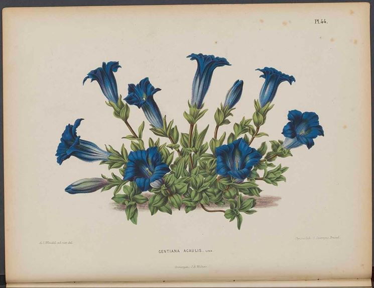 Illustrazione botanica di Gentiana acaulis, o genzianella