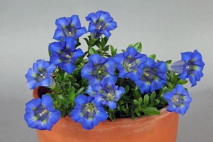 Fiori di genzianella in vaso