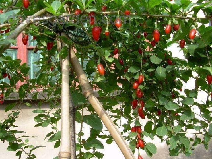 Arbusto di Lycium barbarum