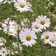 Fiori di Tanacetum cinerariifolium