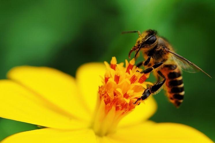 Gli insetti impollinatori sono sensibili al piretro