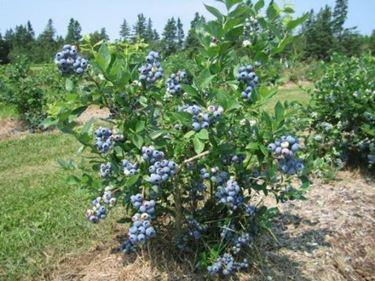 pianta mirtilli