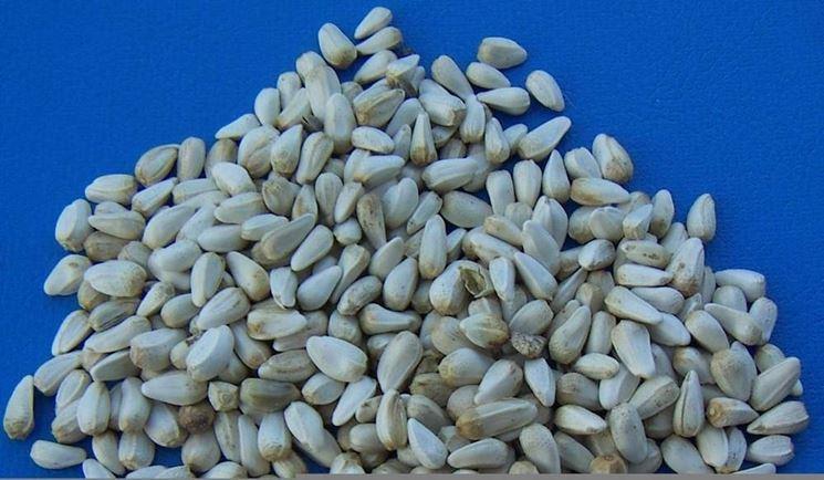 semi di cartamo