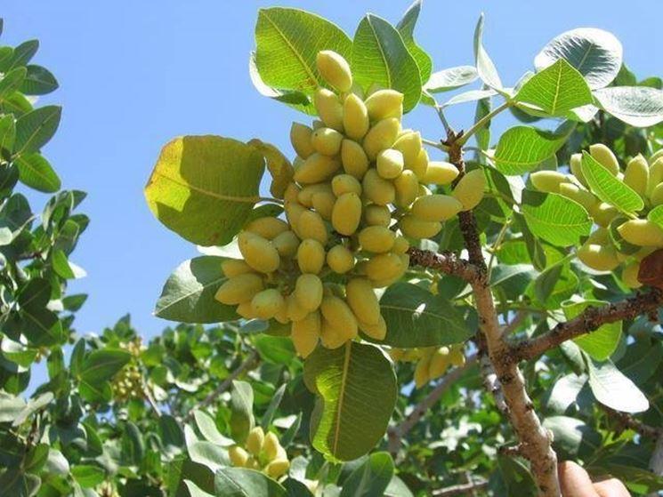 pistacchi su pianta