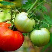 Coltivazione pomodori ortaggi come coltivare pomodori for Scacchiatura pomodori