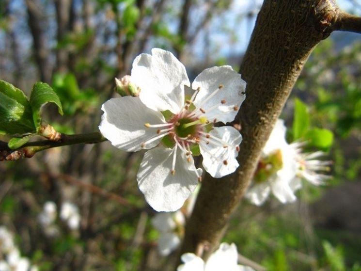 prugnolo fiore
