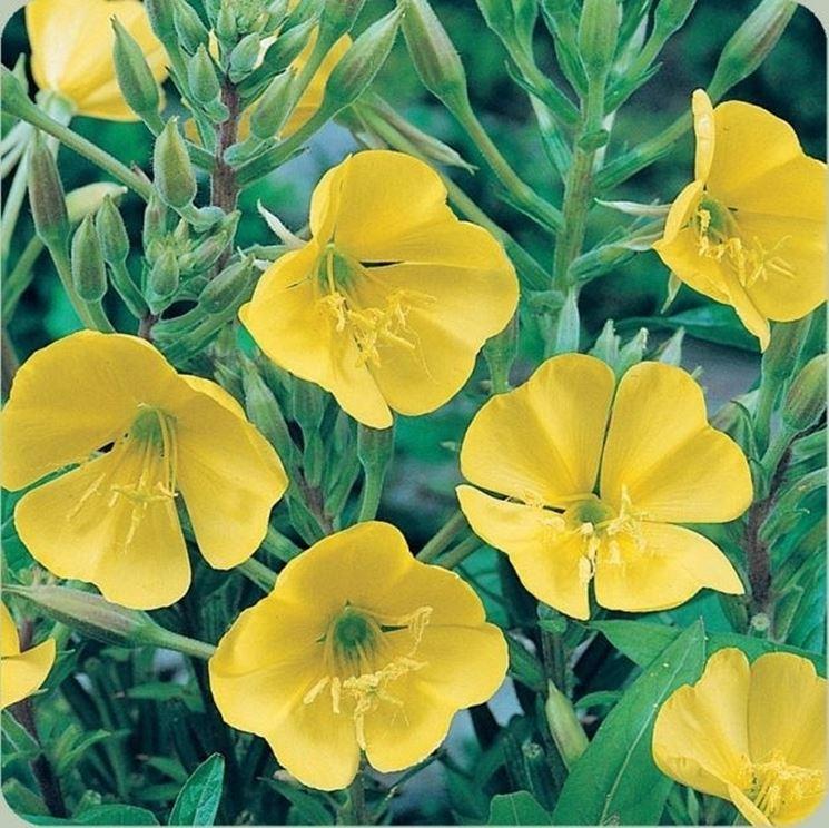 fiori di rapunzia