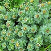 Il fiore della Rodiola