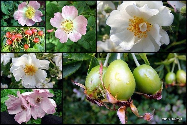 fiori e frutti rosa selvatica