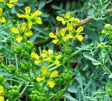 fiori ruta