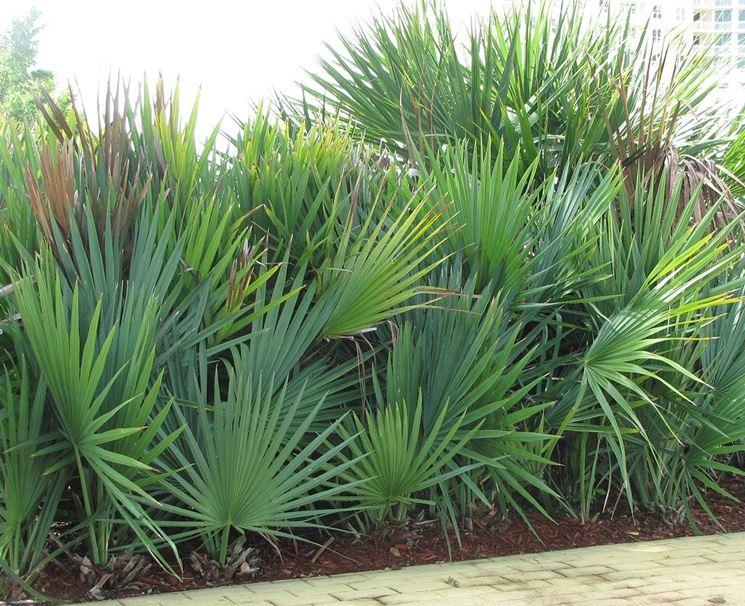 serenoa repens pianta