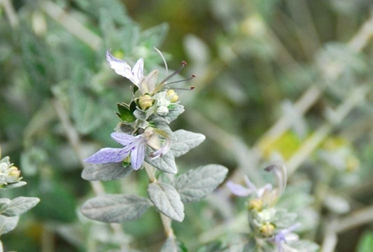 fiore di teucrio