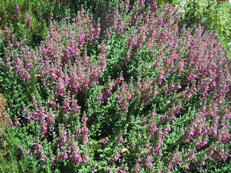 piante di teucrio