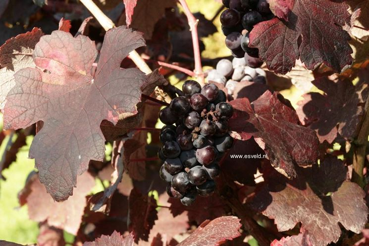Colore intenso delle foglie di vite rossa