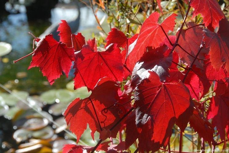 Foglie di vite rossa baciate dal sole