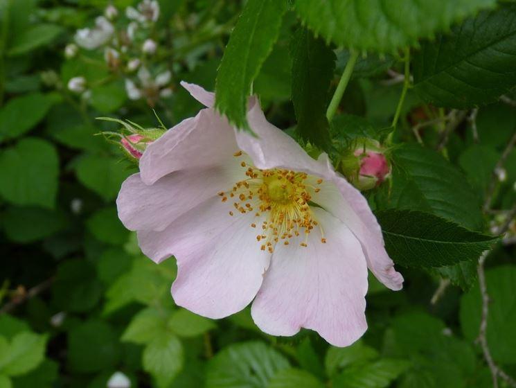 Fiore di rosa canina
