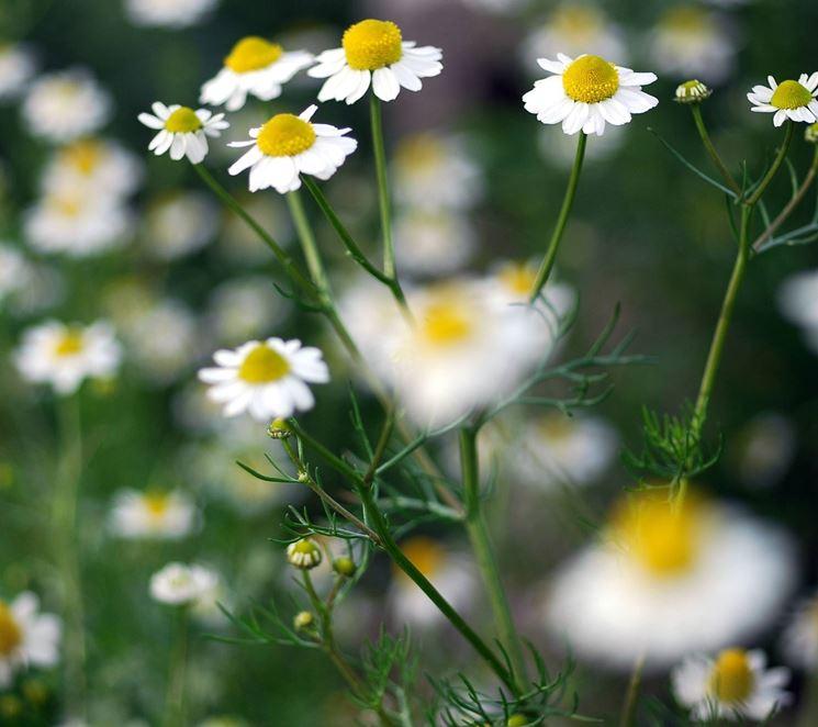 fiori camomilla