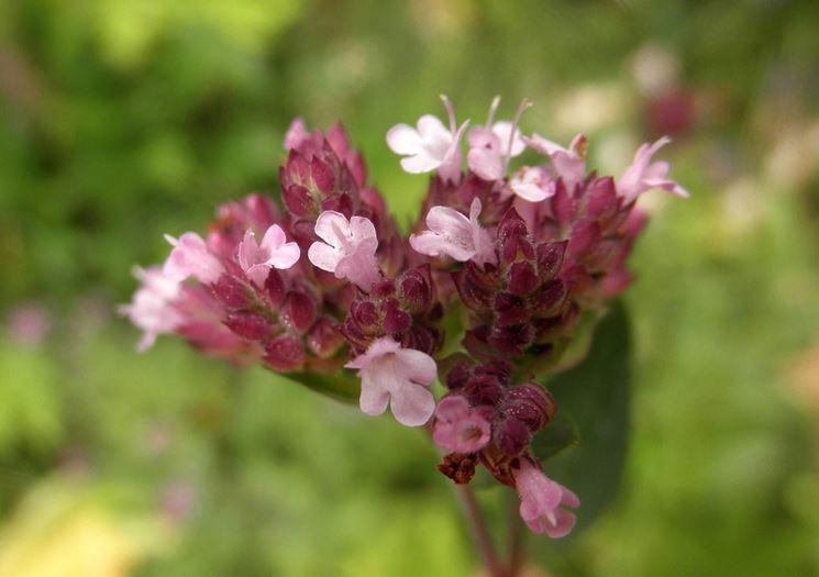 Il bel fiore dell'origano