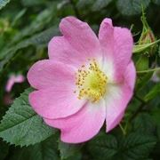 Infuso di rosa canina