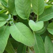 La pianta della salvia