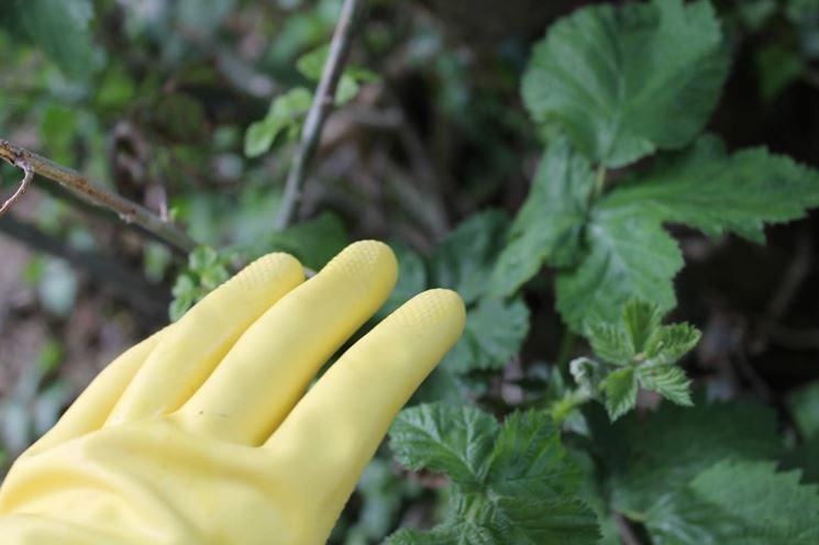 Foglie di ortica opportunamente raccolte con guanti