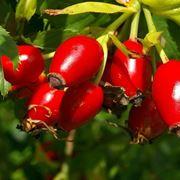 Le bacche rosse della rosa canina, anche chiamate cinorrodi
