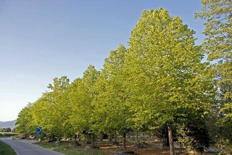 alberi di tiglio in fila