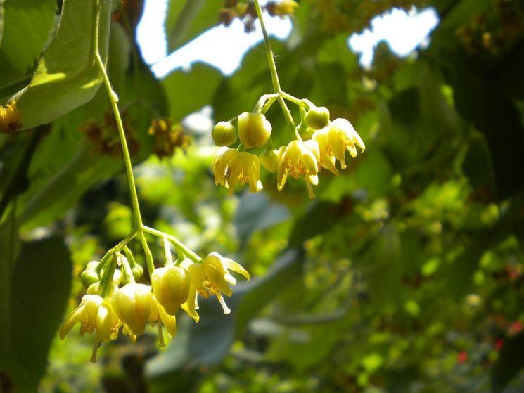 fiori di tiglio per infusi