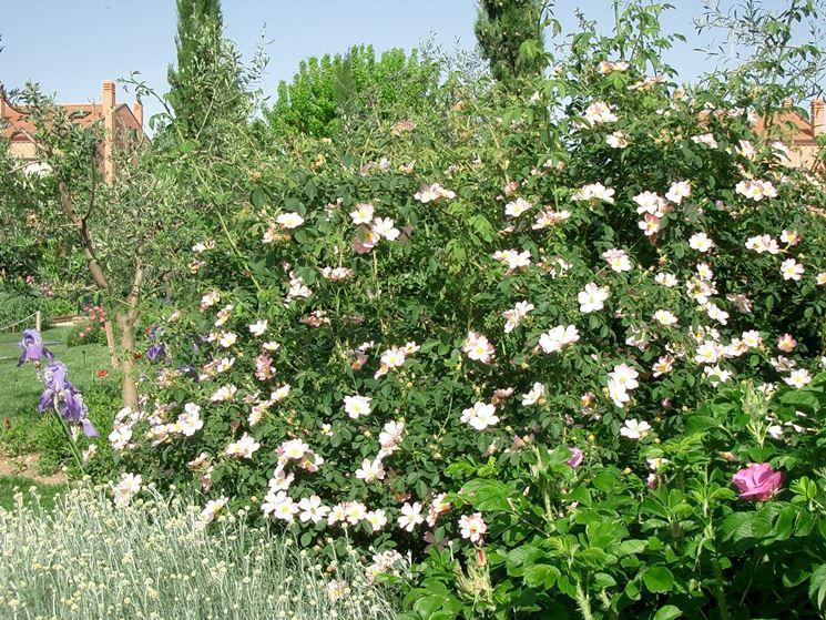 Arbusto di rosa canina