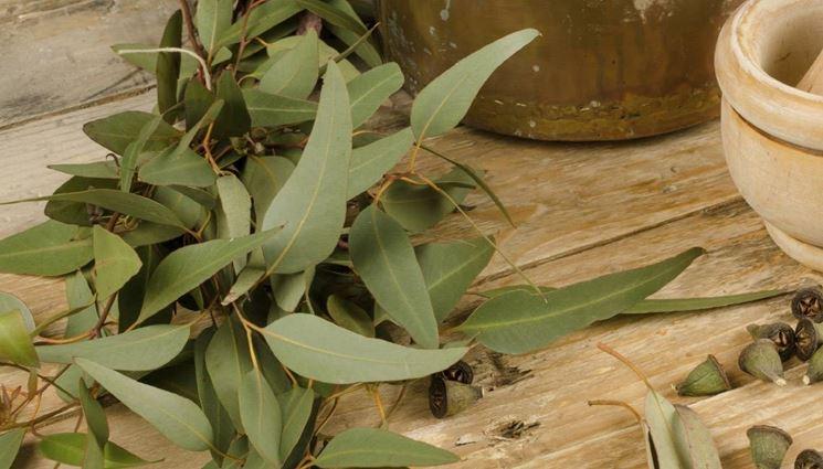 Foglie di eucalipto (Eucalyptus globulus)