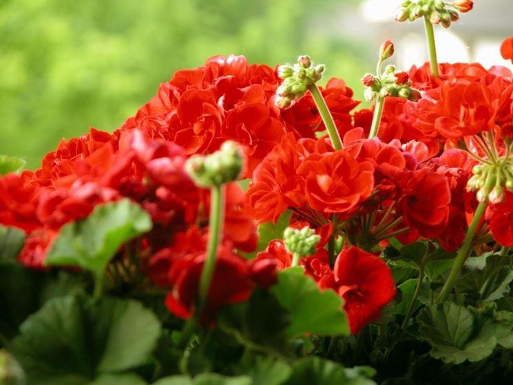 piante di geranio rosso