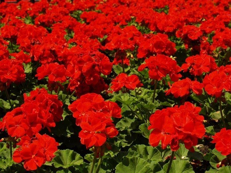 campo di gerani rossi