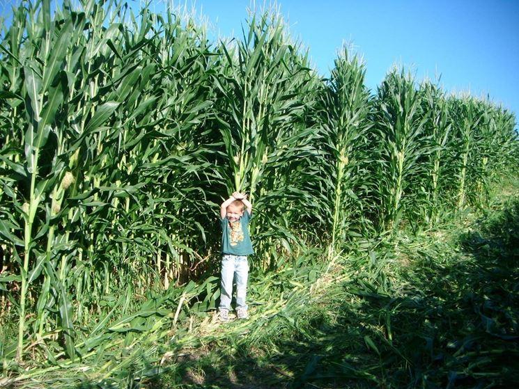 coltivazione grano tenero