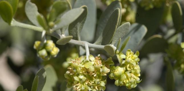 <h6>Olio di jojoba  </h6>In questa pagina, tutte le caratteristiche, le propriet� e gli usi dell'olio di joboba puro o addizionato ad altre sostanze naturali