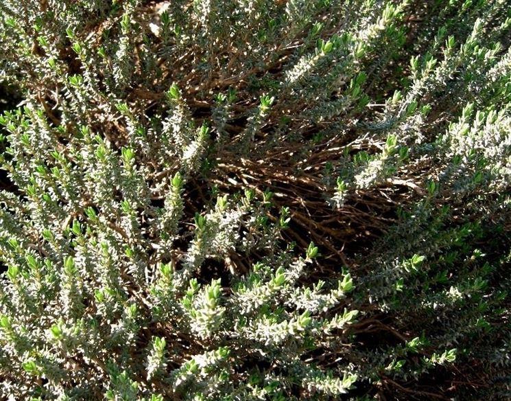 pianta d'origano