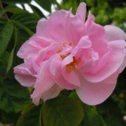 Il fiore della rosa mosqueta
