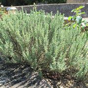Arbusto di Thymus vulgaris