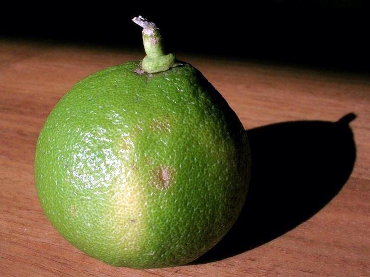 Bergamotto, frutto