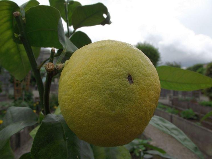 Frutto di Bergamotto con foglie