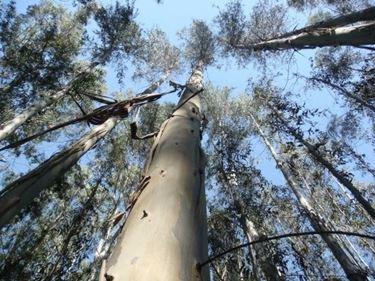 Albero di Eucalipto australiano