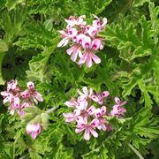 Il geranio Pelargonium graveolens in fioritura