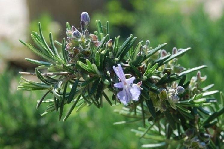 primo piano ramo di rosmarino con fiori