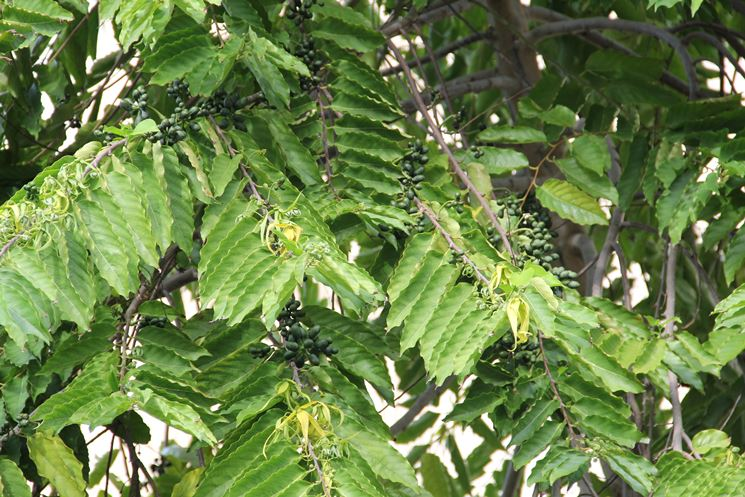 Albero di ylang ylang (Canaga odorata)