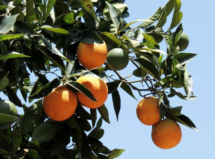 Albero di arancio dolce (Citrus sinensis)