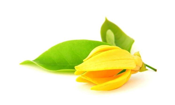 fiore di ylang ylang