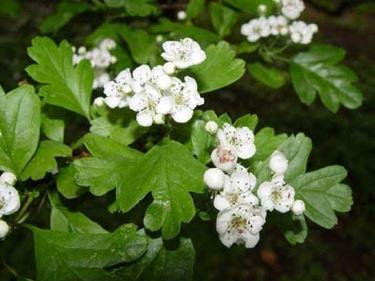 pianta di biancospino