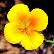 escolzia: particolare fiore